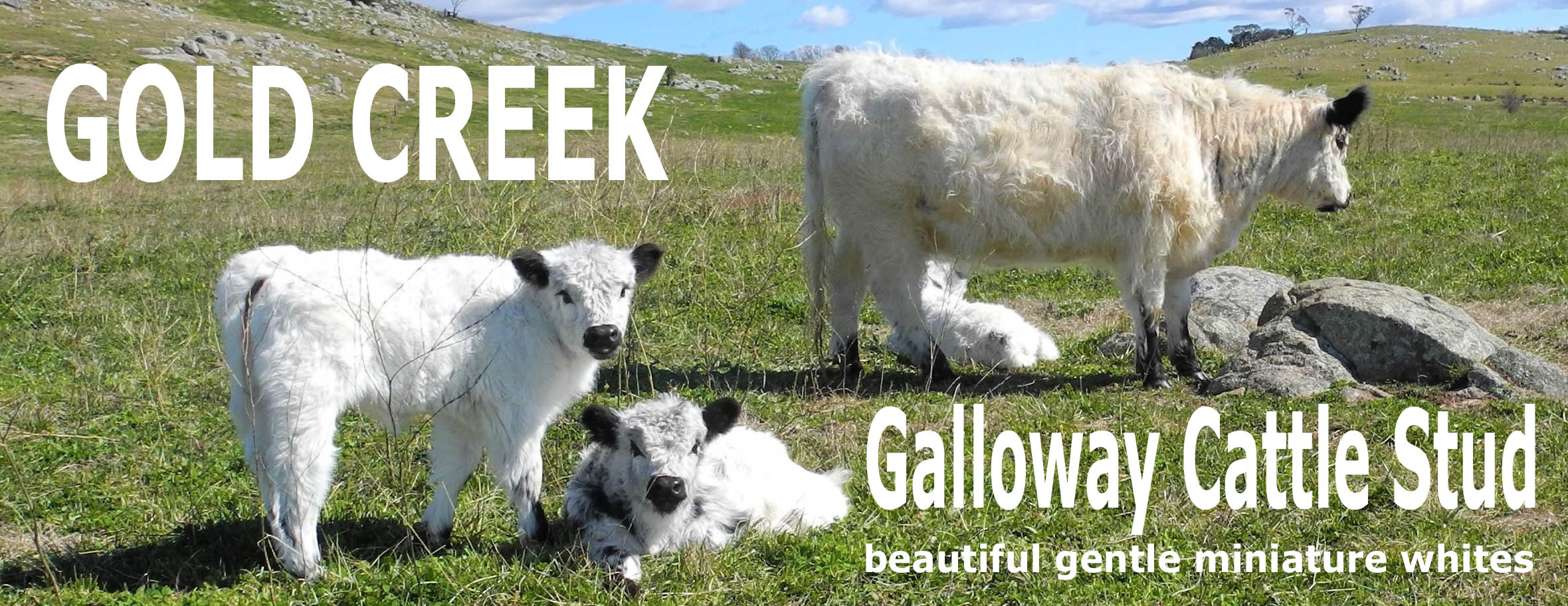 Miniature Galloway
